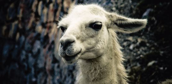 Un lama contre le SIDA