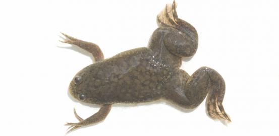 «Xenopus laevis»: la grenouille aux œufs d'or