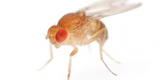 «Drosophila melanogaster»: la Ferrari de la génétique