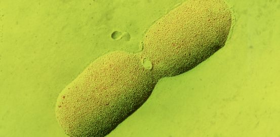 E. coli: la bactérie des prix Nobel