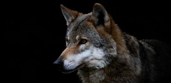 Science avec les loups