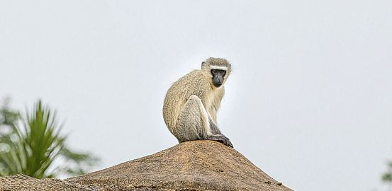 Le prestige des singes